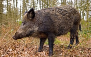 atac-porci-mistreti-glogovat