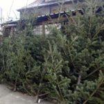16 brazi de Crăciun confiscați de polițiștii din Blaj și Crăciunelu de Jos de la comercianți care-i ofereau spre vânzare în alte locuri decât cele autorizate
