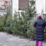 36 de brazi de Crăciun confiscați de polițiștii din Blaj, de la 4 bărbați care-i comercializau ilegal pe strada Mitropolit Andrei Șaguna