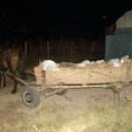 Tânăr din Cetatea de Baltă surprins în flagrant în timp ce transporta 118Kg de struguri furați dintr-o fermă viticolă din localitatea Tătârlaua