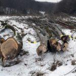 Tineri din Jidvei cercetați penal pentru tăiere ilegală de arbori și furt de material lemnos
