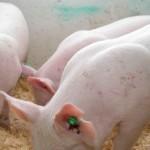 Lista abatoarelor din județul Alba care pot achiziționa porcine din gospodăriile țărănești