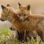 Doi tineri, din Bahnea, sunt cercetaţi de poliţişti după ce au schingiuit trei pui de vulpe și au publicat imaginile pe o rețea de socializare
