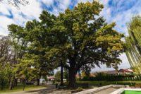 """Stejarul lui Avram Iancu din Municipiul Blaj propus pentru concursul """"Arborele Anului 2019 din România"""""""